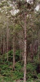 Karri regrowth forests, Western Australia